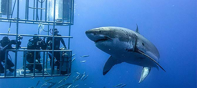 Pictyure courtesy gansbaaisharkcagediving.com